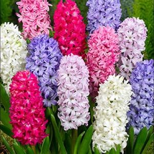 Mixed Hyacinth - 3 Flower Bulbs